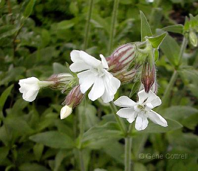 Night-flowering%20Catchfly.jpg